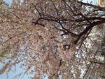 20201204 桜.jpg