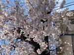 s桜2021.jpg